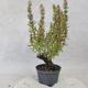 Outdoor bonsai - góra Satureja - Satureja montana - 4/5