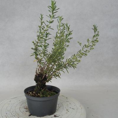 Outdoor bonsai - góra Satureja - Satureja montana - 4