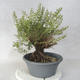 Outdoor bonsai - góra Satureja - Satureja montana - 4/6