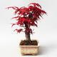 Outdoor bonsai - Klon palmatum DESHOJO - Klon japoński - 4/5