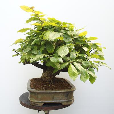 Bonsai ogrodowe - Grab - Carpinus betulus - 4
