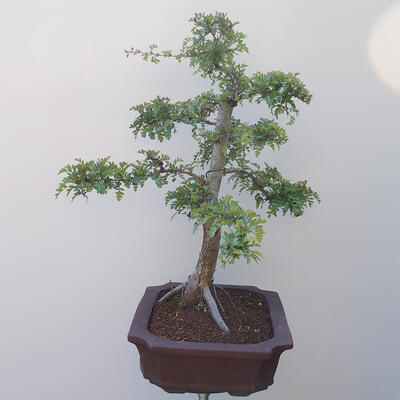 Bonsai na zewnątrz - Hawthorn - 4