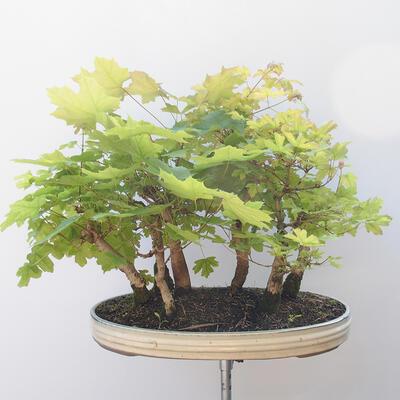 Acer campestre, acer platanoudes - Baby klon, klon - 4