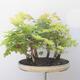 Acer campestre, acer platanoudes - Baby klon, klon - 4/4