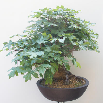 Acer campestre - Baby Maple - 4