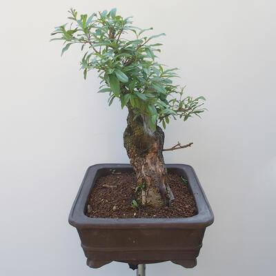 Bonsai zewnętrzne - dziób ptaka Ligustrum - 4