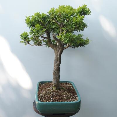 Bonsai ogrodowe - Bukszpan - 4