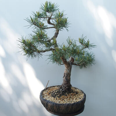 Bonsai ogrodowe - Pinus sylvestris Watereri - sosna zwyczajna - 4