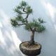 Bonsai ogrodowe - Pinus sylvestris Watereri - sosna zwyczajna - 4/5