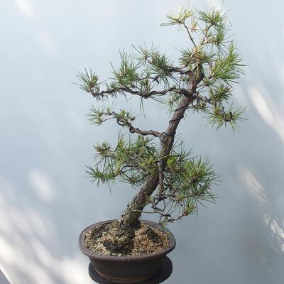 Bonsai ogrodowe - Pinus sylvestris - sosna zwyczajna - 4