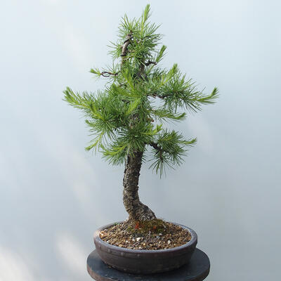 Bonsai zewnętrzne - Larix decidua - Modrzew - 4