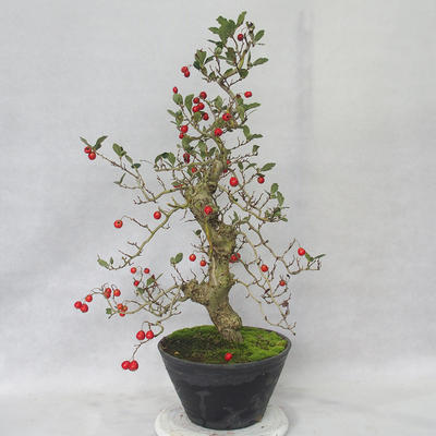 Outdoor bonsai - głogowe białe kwiaty - Crataegus laevigata - 4