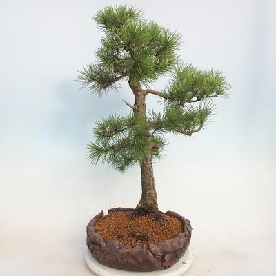 Outdoor bonsai - Pinus sylvestris - Sosna zwyczajna - 4