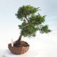 Outdoor bonsai - Juniperus chinensis - chiński jałowiec - 4/5