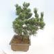 Outdoor bonsai - Pinus parviflora - Sosna drobnokwiatowa - 4/5