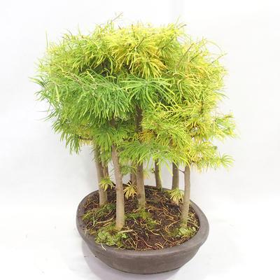Outdoor bonsai - Pseudolarix amabilis - Pamodřín - gaj z 9 drzewami - 4