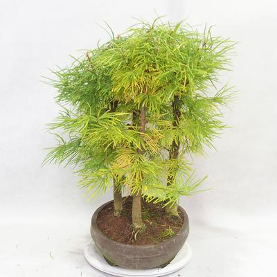 Outdoor bonsai - Pseudolarix amabilis - Pamodřín - gaj z 5 drzewami - 4