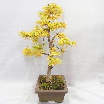 Outdoor bonsai - Pseudolarix amabilis - Pamodřín - 4