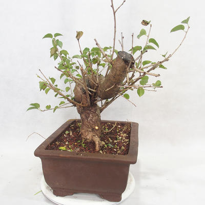 Outdoor bonsai -Mahalebka - Prunus mahaleb - 4