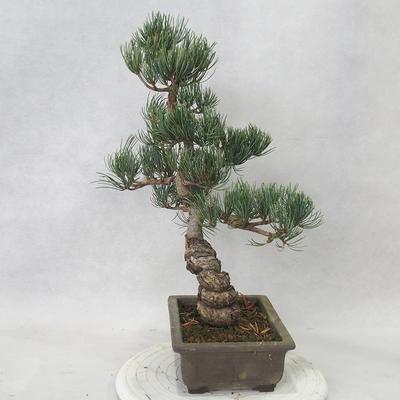 Outdoor bonsai - Pinus parviflora - Sosna drobnokwiatowa - 4