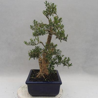 Kryty bonsai - Buxus harlandii - Bukszpan korkowy - 4