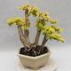 Indoor bonsai -Ligustrum Aurea - dziób ptaka - 4/6