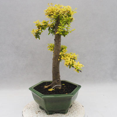 Indoor bonsai -Ligustrum Aurea - dziób ptaka - 4