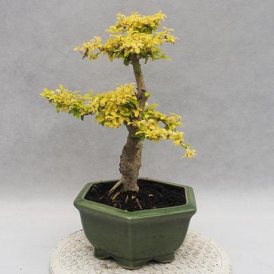 Indoor bonsai -Ligustrum Aurea - dziób ptaka - 4