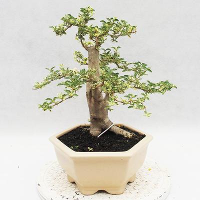Indoor bonsai -Ligustrum Variegata - dziób ptaka - 4