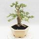 Indoor bonsai -Ligustrum Variegata - dziób ptaka - 4/6