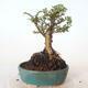 Bonsai zewnętrzne - Ulmus parvifolia SAIGEN - Wiąz drobnolistny - 4/5