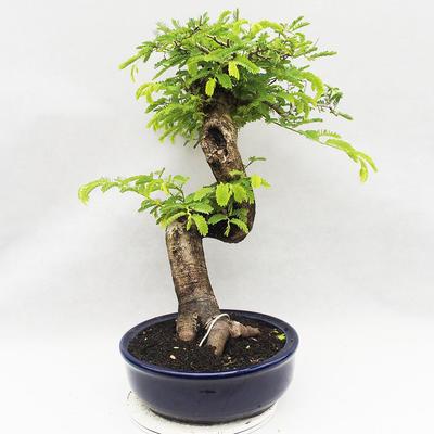 Kryty bonsai -Phyllanthus Niruri- Smuteň - 4