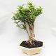 Kryty bonsai -Phyllanthus Niruri- Smuteň - 4/5