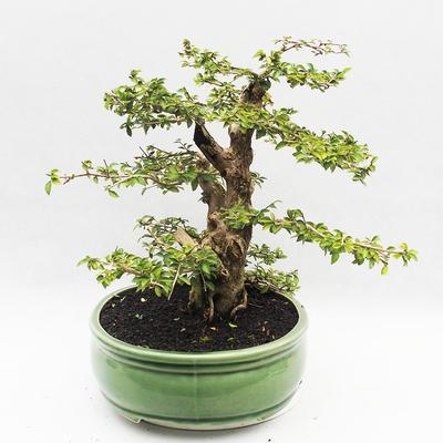 Bonsai do wnętrz - Cudrania equisetifolia - 4