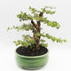 Bonsai do wnętrz - Cudrania equisetifolia - 4/5