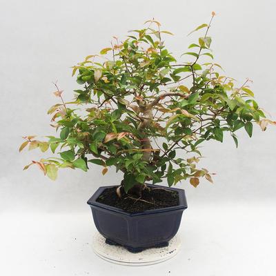 Room Bonsai - Australian Cherry - Eugenia uniflora - 4