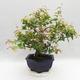 Room Bonsai - Australian Cherry - Eugenia uniflora - 4/5