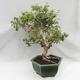 Indoor Bonsai - Australian Cherry - Eugenia uniflora - 4/5