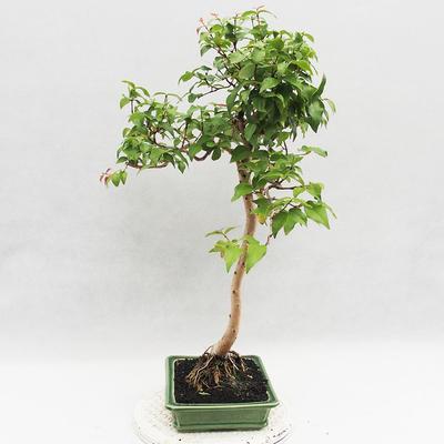 Indoor Bonsai - Australian Cherry - Eugenia uniflora - 4