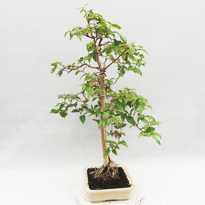 Indoor Bonsai - Australian Cherry - Eugenia uniflora - 4