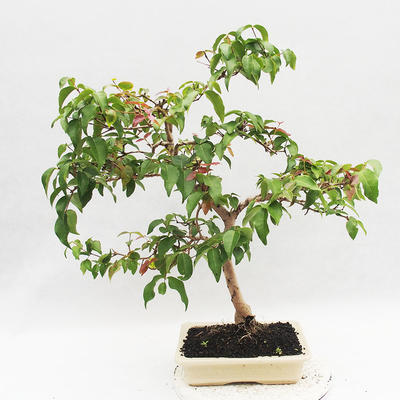 Room Bonsai - Australian Cherry - Eugenia uniflora - 4