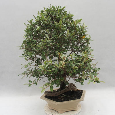 Kryty bonsai -Eleagnus - Hlošina - 4