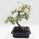 Kryty bonsai -Eleagnus - Hlošina - 4/5