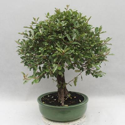 Kryty bonsai -Eleagnus - Hlošina - 4