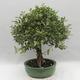 Kryty bonsai -Eleagnus - Hlošina - 4/6