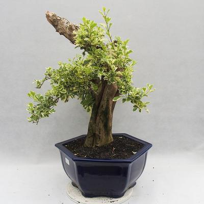 Bonsai do wnętrz - Duranta erecta Variegata - 4