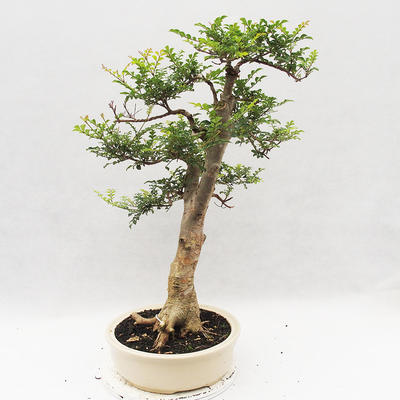 Indoor Bonsai - Fraxinus uhdeii - Indoor Ash - 4