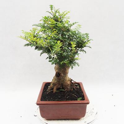 Indoor Bonsai - Fraxinus uhdeii - Indoor Ash - 4