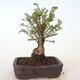 Bonsai zewnętrzne - Ulmus parvifolia SAIGEN - Wiąz drobnolistny - 4/7