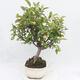 Outdoor bonsai -Malus Halliana - owocach jabłoni - 4/6